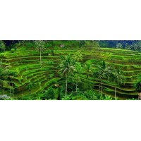Tegalalang Rice Terrace, Batur volcano, Hot spring, Coffee plantation